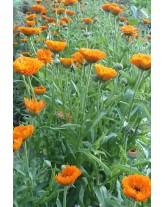 Hydrolat Calendula - Calendula officinalis (eau florale)