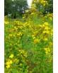 Hydrolat Millepertuis - Hypericum perforatum (eau florale)
