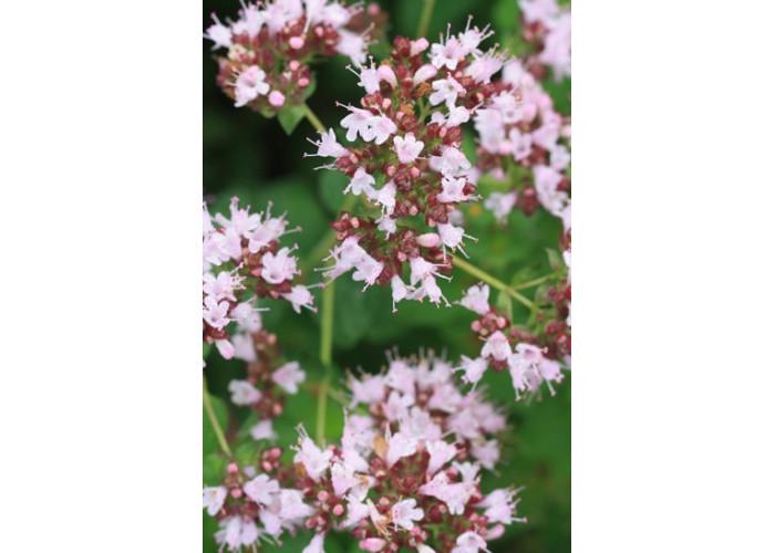 Hydrolat Origan - Origanum vulgare (eau florale)